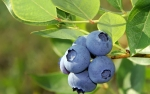 BlueBerry_real