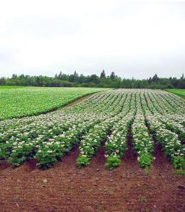 Maine Potato Field, with blossoms