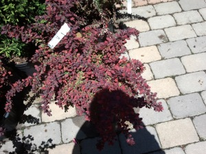 Barberry... one of my favorite shrubs!