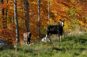 In addition to the colors of autumn, you may see some of Maine's wildlife! In this case, a moose and her calf in Bethel, ME.
