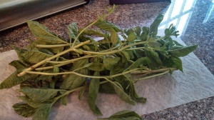 One of three bushels of washed basil occupying counter space...